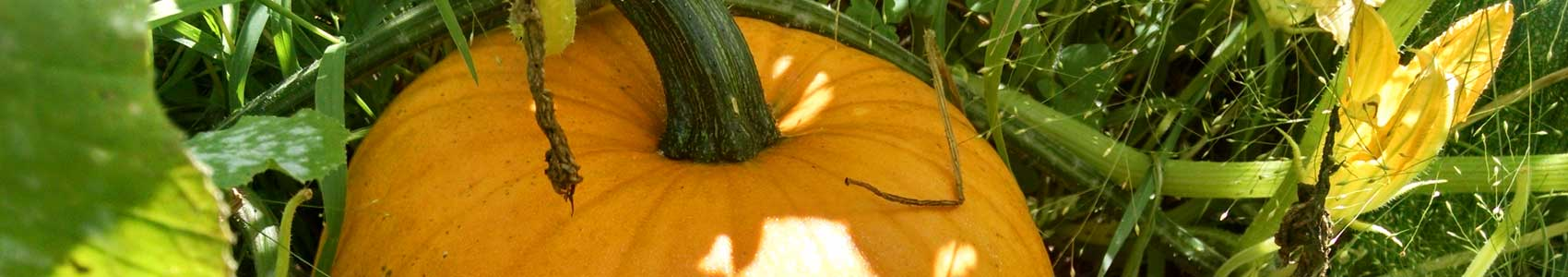 pumpkinsforsale
