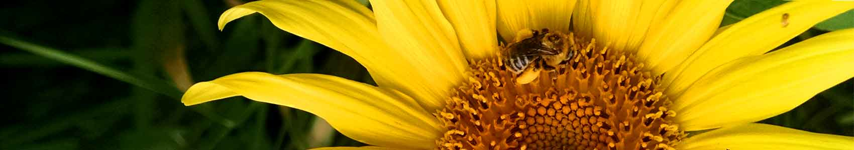 sunflowerbee1700X300